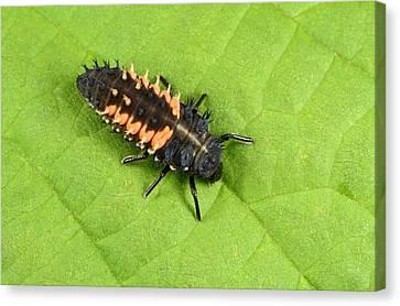 Beetle Canvas Print - Harlequin Ladybird Larva by Nigel Downer