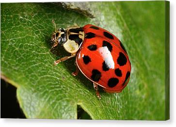 Harlequin Ladybird Canvas Print by Nigel Downer