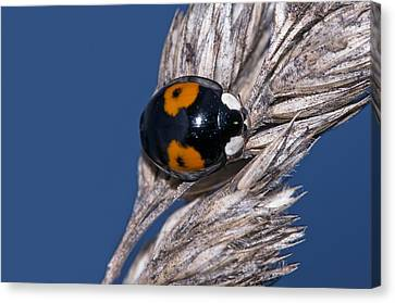 Harlequin Ladybird Canvas Print by Science Photo Library