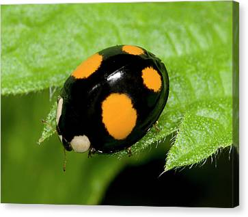 Harlequin Ladybird Spectabilis Form Canvas Print by Nigel Downer