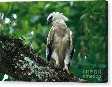 Harpy Eagle Canvas Print - Harpy Eagle by Art Wolfe
