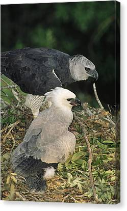 Harpy Eagle Female And Chick Amazonian Canvas Print
