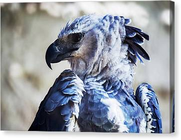 Harpy Eagle Canvas Print - Harpy Eagle Harpia Harpyja by Leonardo Mer�on