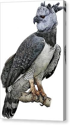Harpy Eagle Canvas Print - Harpy Eagle, Harpia Harpyja by Roger Hall