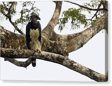 Harpy Eagle In Kapok Tree Canvas Print