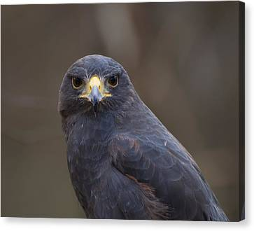 Harris Hawk Canvas Print by Chris Flees