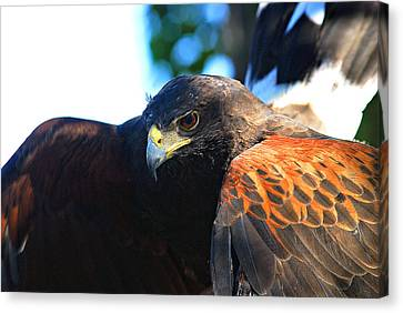 Harris Hawk - Close Up Canvas Print
