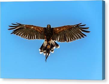Harris Hawk In Flight Canvas Print by Randy Scherkenbach