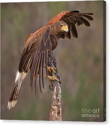 Harris's Hawk 1 Canvas Print by Jerry Fornarotto