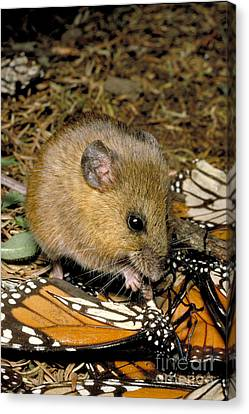 Harvest Mouse Eating Monarchs Canvas Print by Gregory G. Dimijian