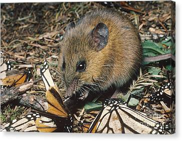 Harvest Mouse Feeds On Monarchs Canvas Print by Gregory G. Dimijian