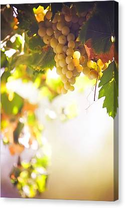 Harvest Time. Sunny Grapes I Canvas Print by Jenny Rainbow
