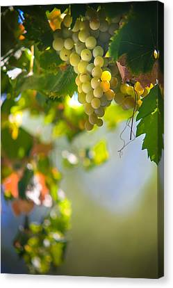 Harvest Time. Sunny Grapes V Canvas Print by Jenny Rainbow
