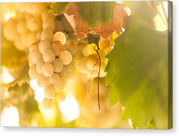 Harvest Time. Sunny Grapes Vi Canvas Print by Jenny Rainbow