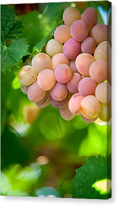 Harvest Time. Sunny Grapes Viii Canvas Print by Jenny Rainbow