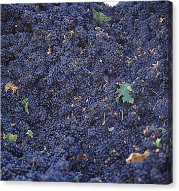 Harvested Cabernet Sauvignon Grapes Canvas Print