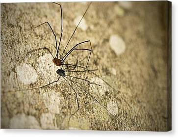 Harvestman Spider Canvas Print by Chevy Fleet