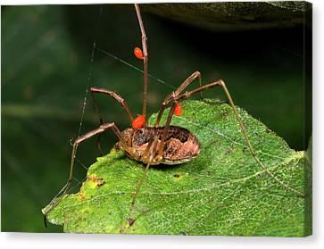 Arachnida Canvas Print - Harvestman With Mites by Nigel Downer