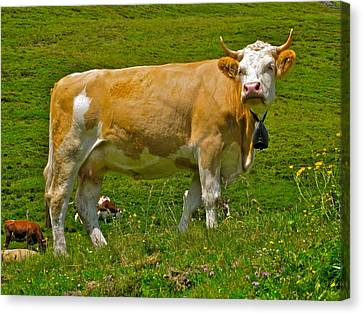 Haughty Bovine Canvas Print by Dwight Pinkley