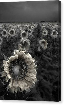 White Flower Canvas Print - Haunting Sunflower Fields 1 by Dave Dilli
