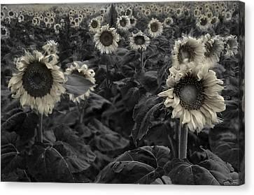 Haunting Sunflowers Field 3 Canvas Print