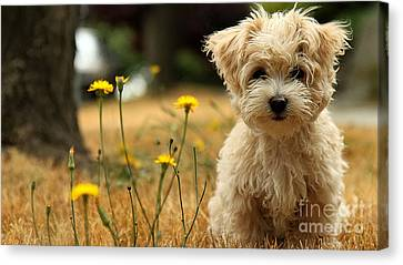 Havanese Puppy  Canvas Print by Marvin Blaine
