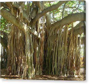 Hawaii Banyan Tree Canvas Print