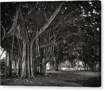 Hawaiian Banyan Tree Root Study Canvas Print by Daniel Hagerman