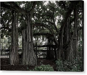 Hawaiian Banyan Trees Canvas Print by Daniel Hagerman