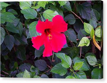 Hawaiian Flower Canvas Print