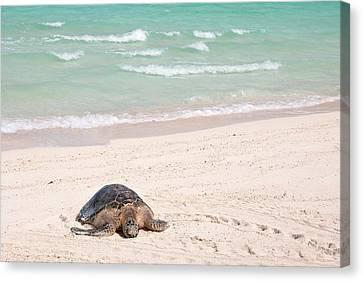 Hawaiian Green Turtle / Chelonia Mydas Canvas Print by Daisy Gilardini
