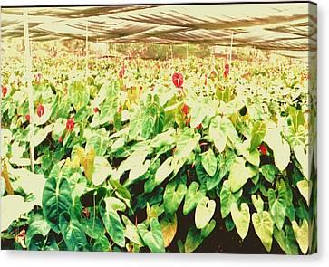Hawii Flowers In Nursery Canvas Print by Joan Shortridge