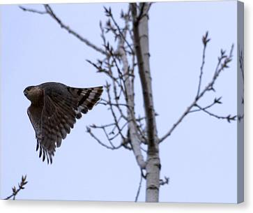 Hawk And Birch Canvas Print by Valerie Wolf