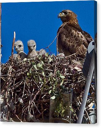 Canvas Print featuring the photograph Hawk Babies by Brian Williamson