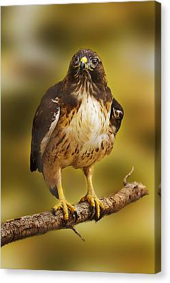 Canvas Print featuring the photograph Hawk  by Brian Cross