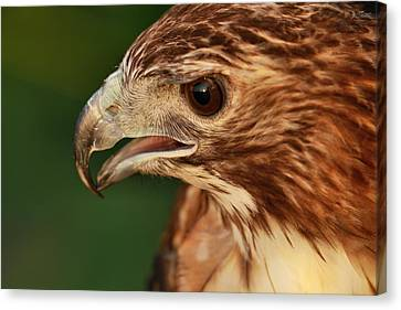 Hawk Eye Canvas Print by Dan Sproul