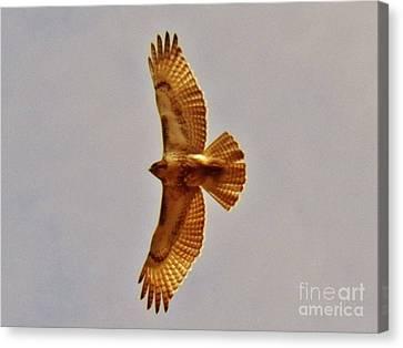 Hawk Flight Canvas Print by Judy Via-Wolff
