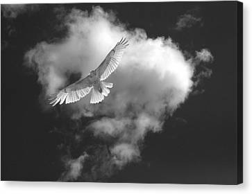 Hawk In Flight - Bw Canvas Print