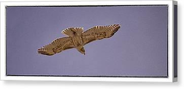 Hawk In Flight Canvas Print