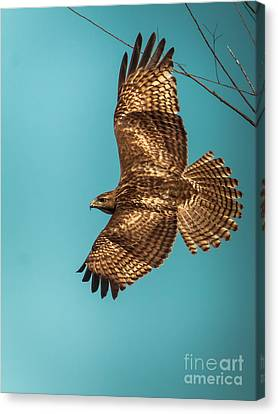 Hawk In Flight Canvas Print by Robert Frederick