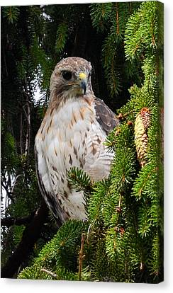 Hawk In Pine Canvas Print