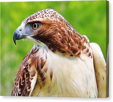 Hawk Is Focused Canvas Print by Al Fritz