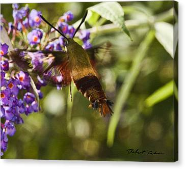 Canvas Print featuring the photograph Hawk Moth I by Robert Culver