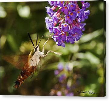 Canvas Print featuring the photograph Hawk Moth II by Robert Culver