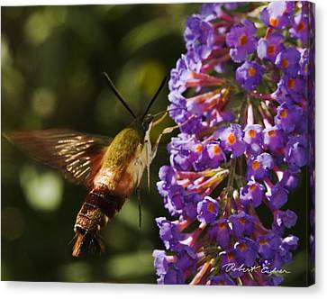 Canvas Print featuring the photograph Hawk Moth IIi by Robert Culver