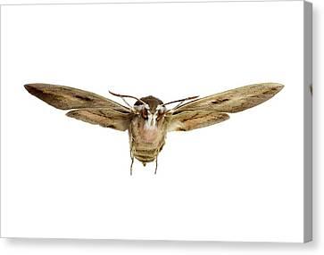 Hawk Moth In Flight Canvas Print by F. Martinez Clavel