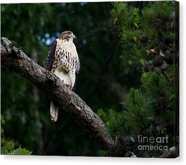 Hawk On Norris Lake Canvas Print by Douglas Stucky