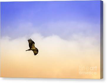 Hawk Over Head Canvas Print by Marvin Spates