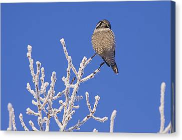 Hawk Owl Perched On Hoarfrosted Canvas Print
