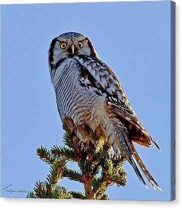 Hawk Owl Square Canvas Print by Torbjorn Swenelius